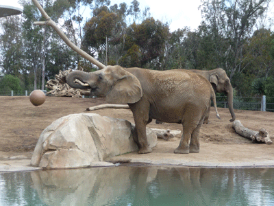 Elephant with trunk up
