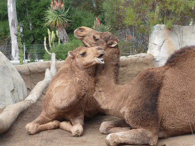 Camels San Diego Zoo