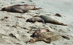 "Elephant seals and baby ""weaners"""