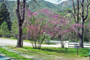 Redbuds in El Portal Campground