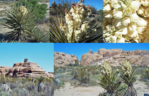 Yucca Montage