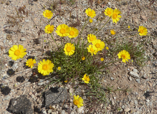 Ives' Fournerved Daisy (Tetraneuris ivesiana)