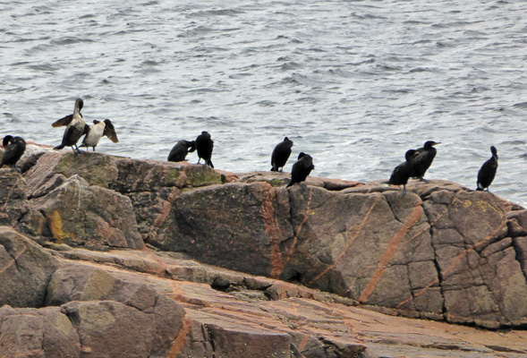 Cormorants Green Cove