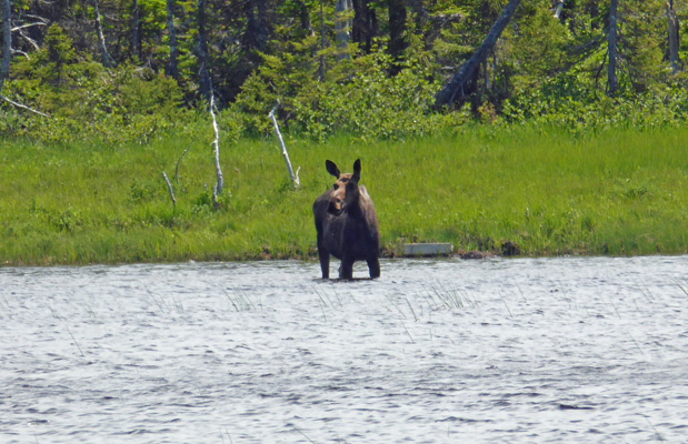 Moose Benjies Lake Cape Breton