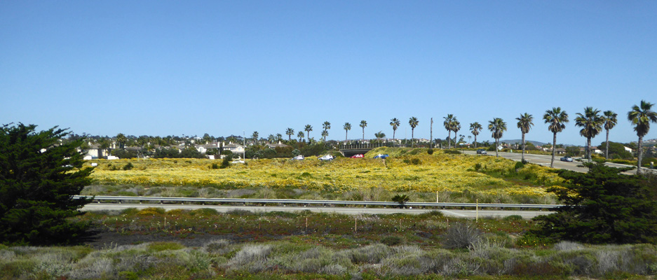 Carlsbad yellow flowers