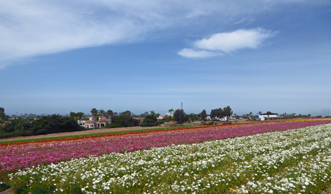 Flower Fields Carlsbad