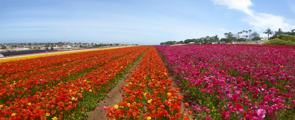 The Flower Fields