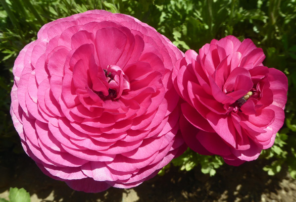Double rose Tecolote Rananculus