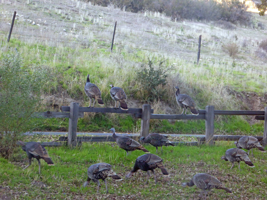 Wild Turkeys on fence