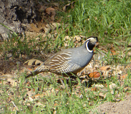 Male Calif Quail