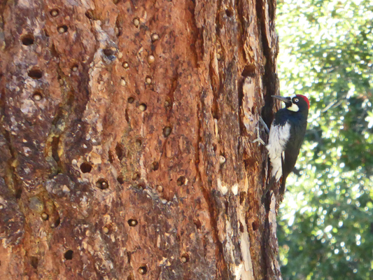 Acorn Woodpecker and acorns