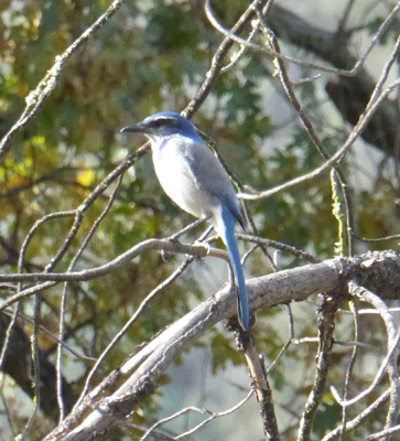 Scrub jay Pinnacles NP