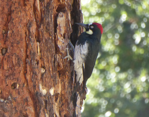 Acorn Woodpecker Pinnacles NP