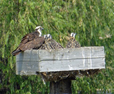 Adult osprey and 2 chicks