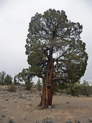 Large Juniper tree near Crack in the Ground OR