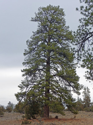 Ponderosa Pine in Lost Forest Oregon Outback