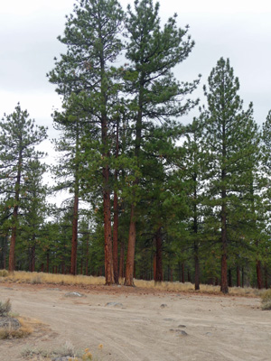 Ponderosa Pines near Hole in the Ground OR