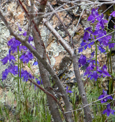 two-lobe larkspur (Delphinium nuttallianum)