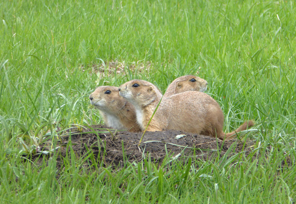 Three prairie dogs
