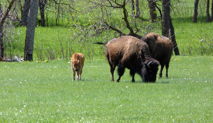 Bison with red dogs