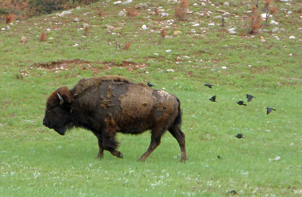 bison and black birds