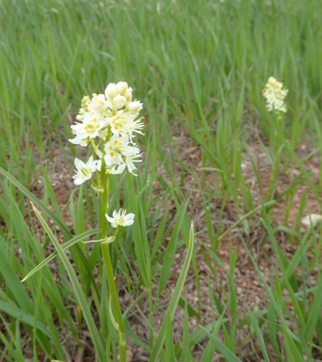 Mountain Death Camas (Anticlea elegans)
