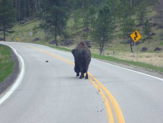 Bison walking down middle of road