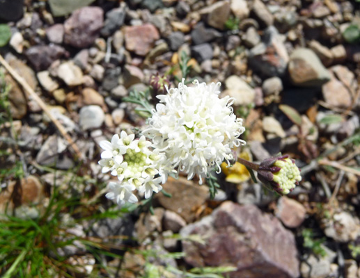 Pebble Pincushion (Chaenactis carphoclina)