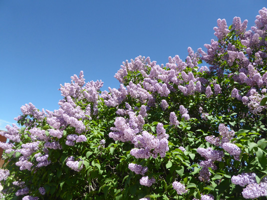 Lilacs Rapid City SD