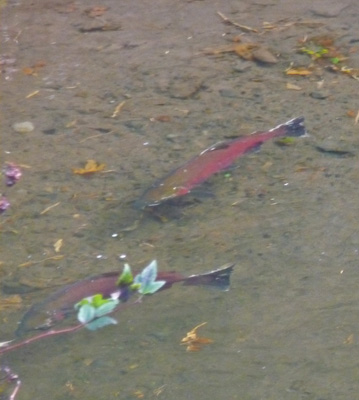 Coho Salmon at the bottom of Multnomah Falls OR