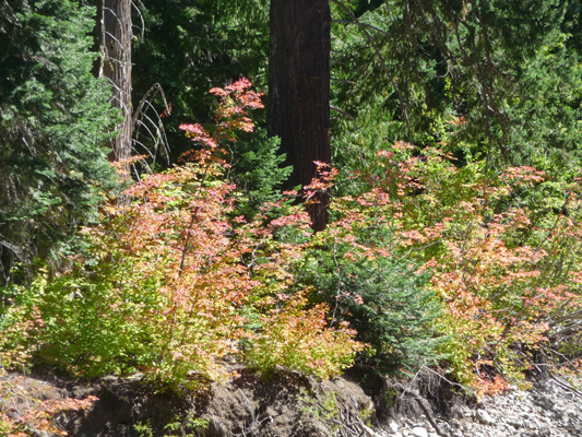 Vine Maples at Lake Kachess Campground