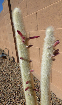 Silver Torch Cactus buds
