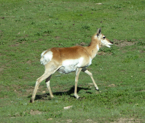 Pronghorn Custer State Park
