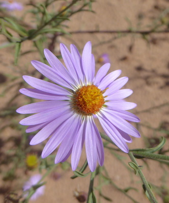 Hoary-aster (Dieteria canescens)