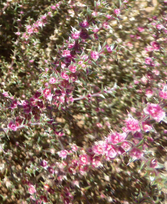 Prickly Russian Thistle (Salsola tragus)