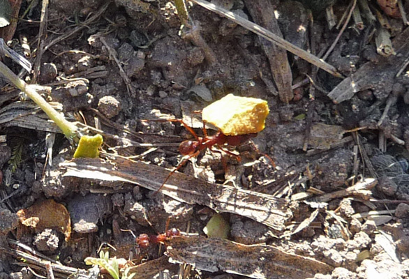 Leafcutter ant with leaf