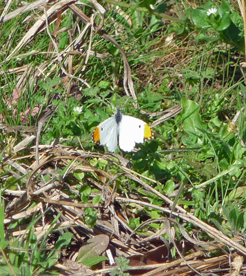 White butterfly with orange wing tips