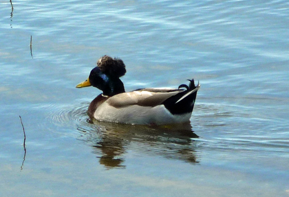 Mallard with top knot