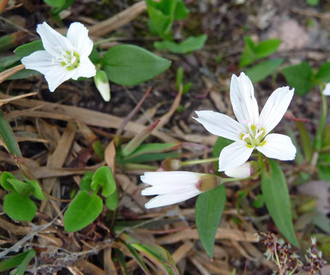 Spring Beauty (Claytonia lanceolata).