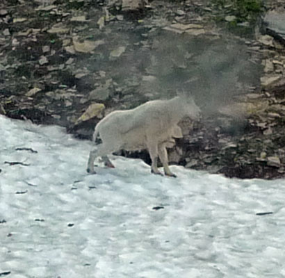 Mountain Goat Glacier National Park