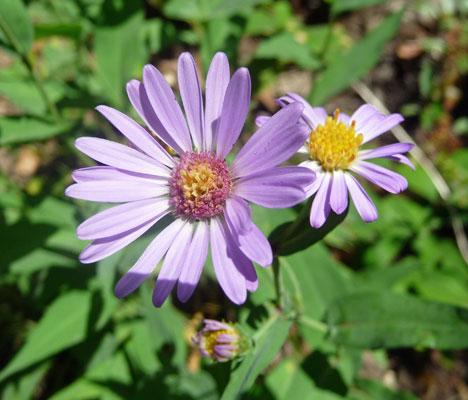 Leafy Aster (Aster foliaceus)