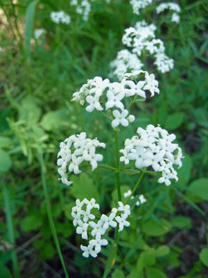 Northern bedstraw (Galim boreale)