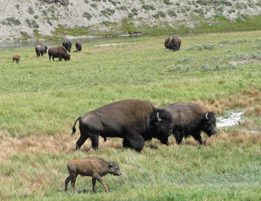 Bison Hayden Valley Yellowstone