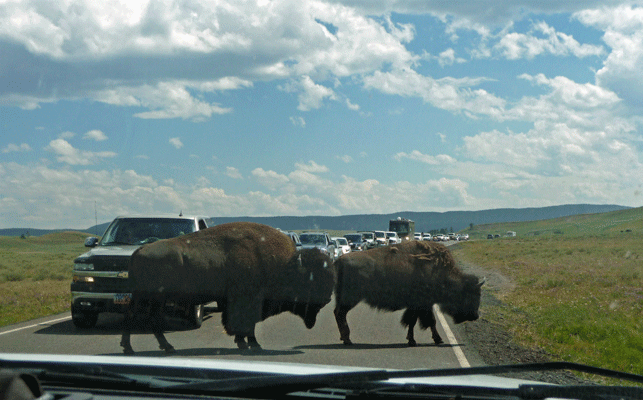 Bison crossing road Hayden Valley Yellowstone