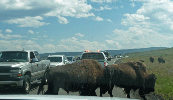 Ranger driving along beeping with Bison