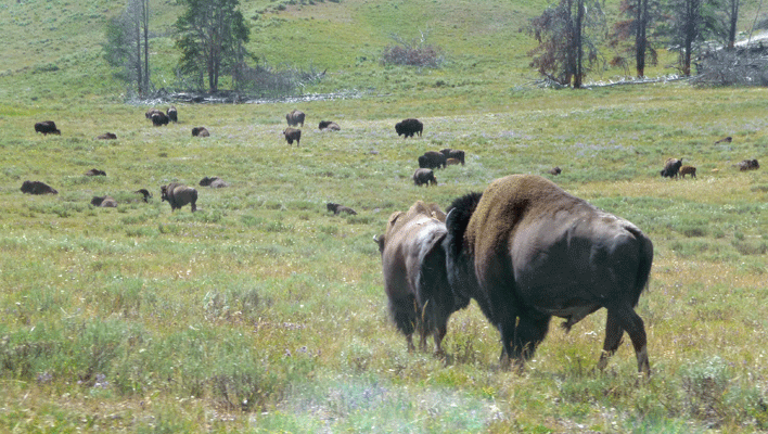 Bull Bison checking female