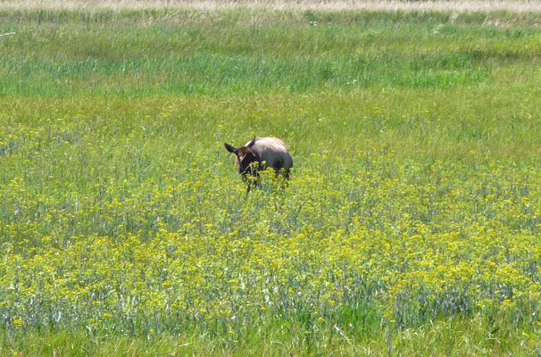 Elk in meadow Yellowstone