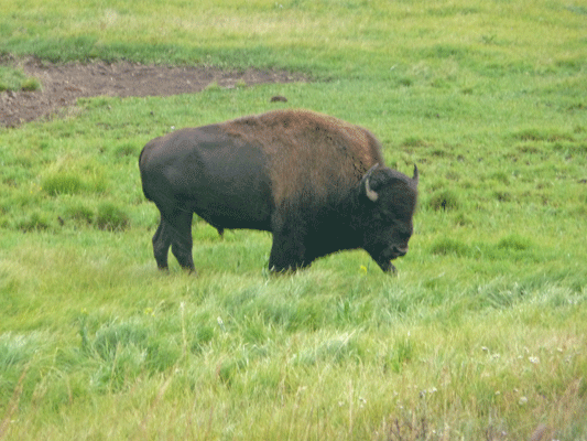 Bison Yellowstone
