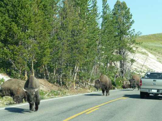 Bison on the road Yellowstone