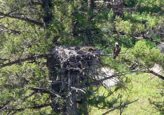 Osprey and nest Lamar Valley Yellowstone